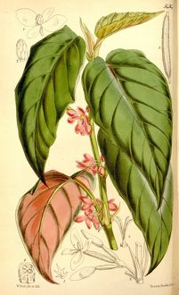 "Botanical Print by Walter Hood Fitch 1817 a€"" 1892, W"