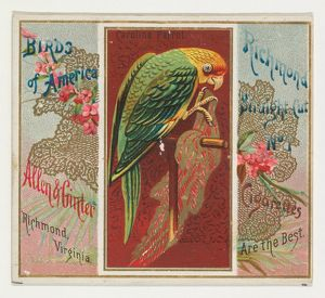 Carolina Parrot, from the Birds of America series (N37) for Allen & Ginter Cigarettes