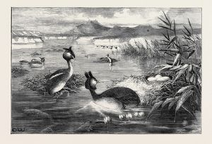 GREBES AND THEIR NESTS