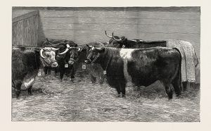 HER MAJESTY THE QUEEN'S PRIZE CATTLE BROUGHT FROM THE BIRMINGHAM FAT STOCK SHOW