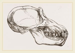 Skull of Chimpanzee