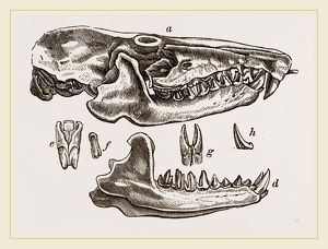 Skull and Teeth of Solenodon