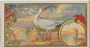 White Ibis, from the Game Birds series (N13) for Allen & Ginter Cigarettes Brands